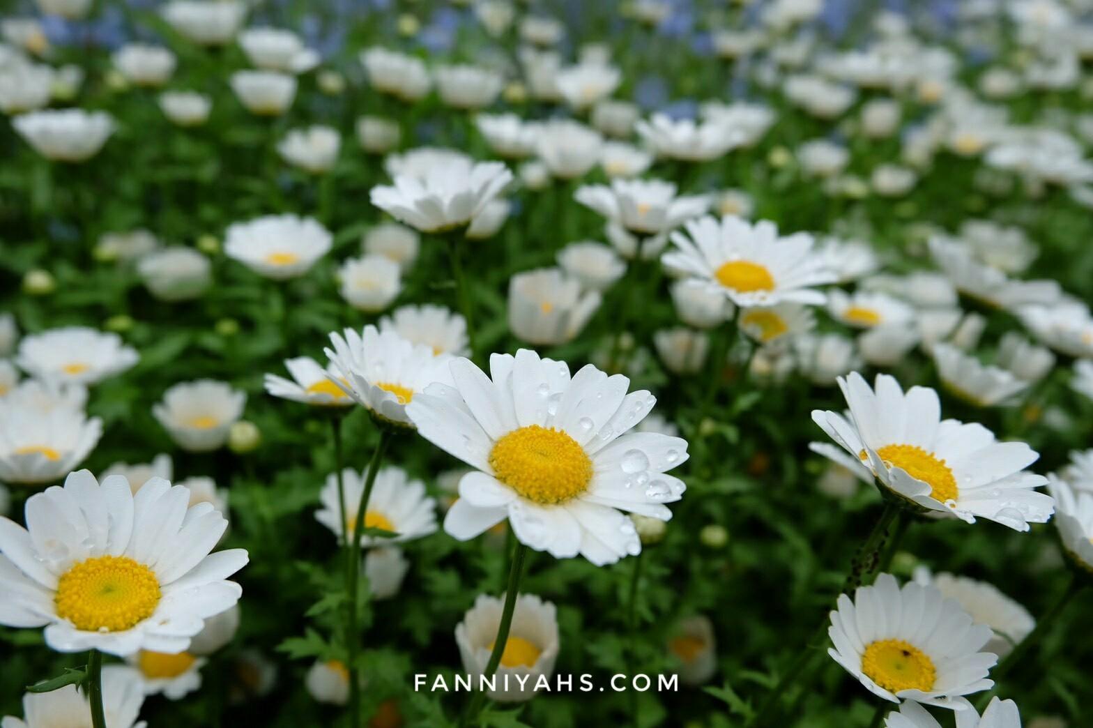 pengalaman-backpacker-ke-jepang-musim-semi-bunga-daisy-bunga-putih-disney-sea